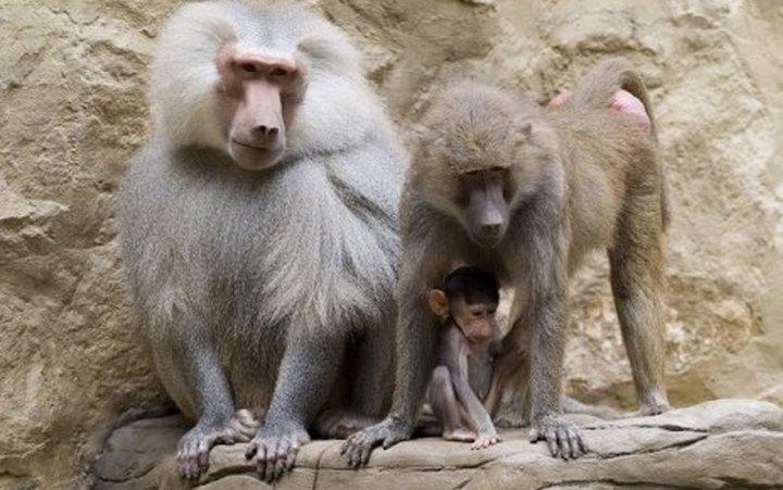 Харьковский зоопарк. Гамадрилы