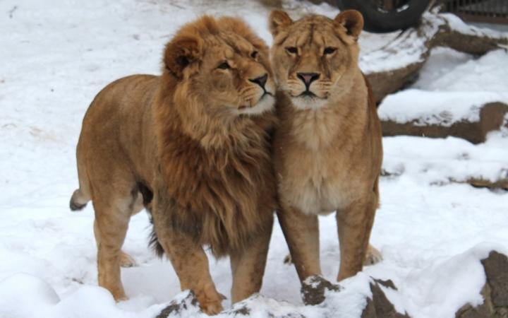 харьковский зоопарк. Львы