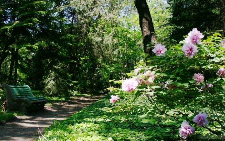 Одесса. Ботанический сад. Пионы