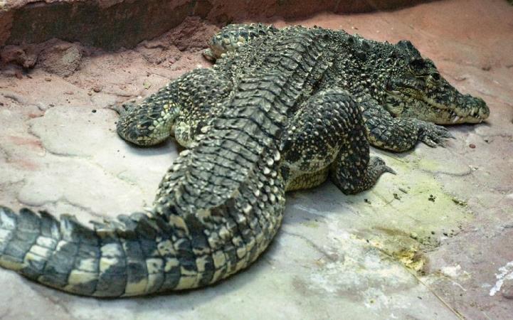 Одесский зоопарк. Крокодил
