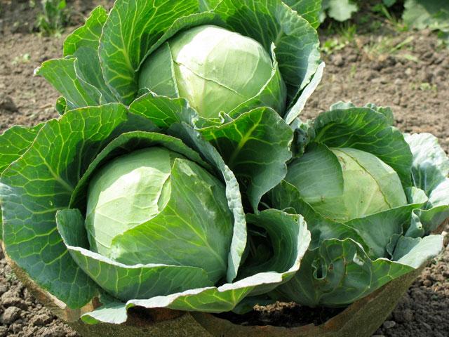 Что можно выращивать в собственном саду