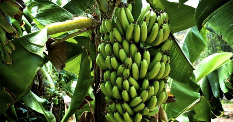 Туры для детей: банановая ферма