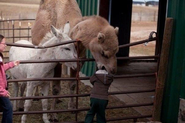 Верблюд ест ребенка