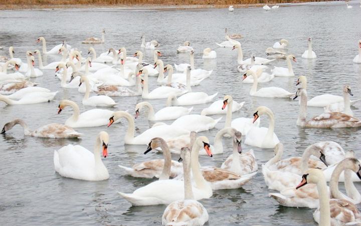 Лебединое озеро, Черновцы