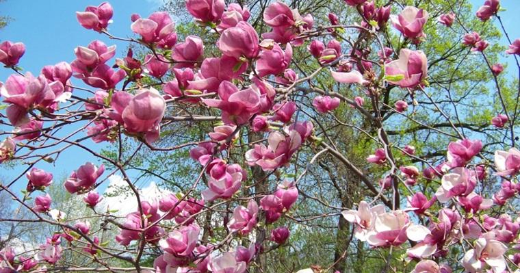 Весна в самом разгаре: в ботанических садах зацвели магнолии