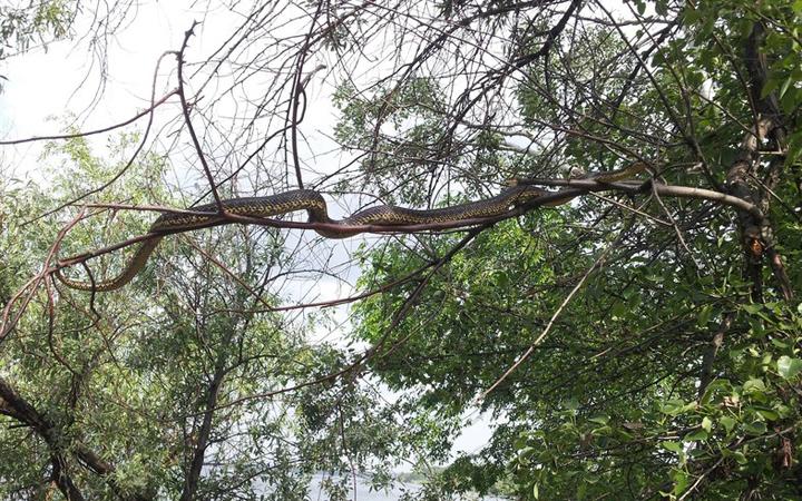 Змея с острова Хортица