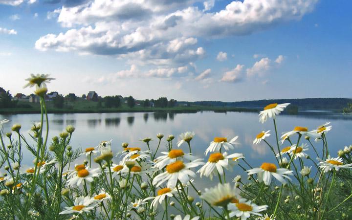водоем цветы природа ромашки