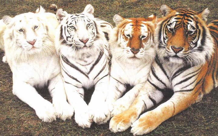 Картинки по запросу Международный день тигра (International Tiger Day)