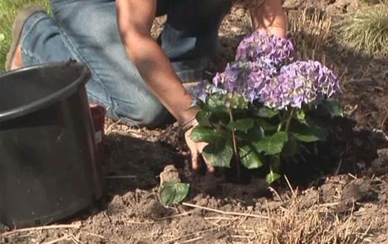 Украшение приусадебного участка садовой гортензией