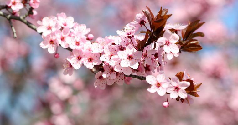 Туры по Украине: Цветущая сакура в Карпатах