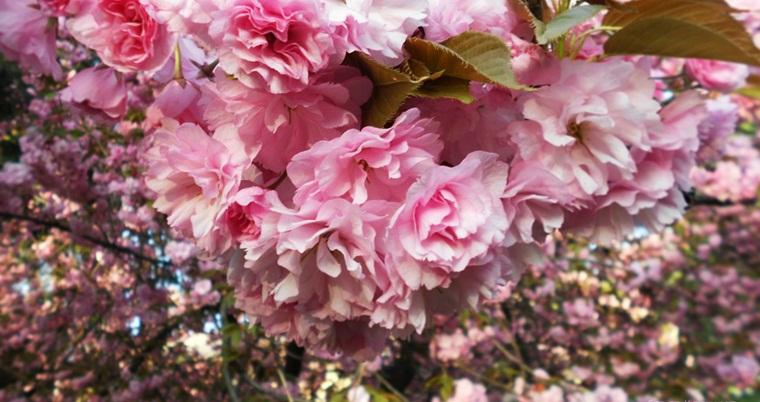 Тур по Украине: Закарпатье в цвету сакуры