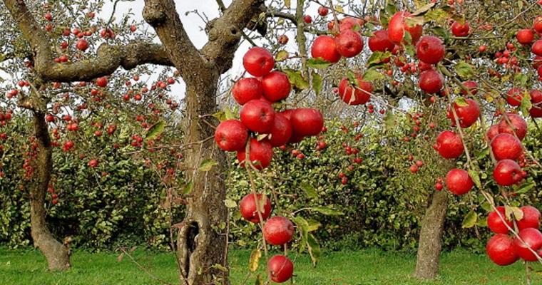 Как обезопасить фруктовые деревья от вредителей